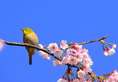 White-eyed bird called MEJIRO in Japanese.