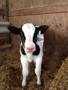 Proposal Ideas country How I got asked to Prom. ❤️ Cow calf promposal farm country cute love How I got asked to Prom. Cute Baby Cow, 2 Baby, Baby Cows, Cute Cows, Cute Baby Animals, Animals And Pets, Funny Animals, Cute Babies, Baby Elephants