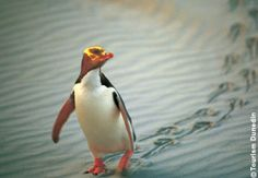 Seeing the Yellow-Eyed Penguin in the wild at Dunedin New Zealand