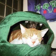 Two is company! #InstaTags4Likes #cat #cats #kitten #kittens #catsagram #catstagram #instagood #friends #pets #animal #animals #petstagram #petsagram #photooftheday #catsofinstagram #ilovemycat #instagramcats #catoftheday #caturday #lovecats #lovekittens #adorable #catlover #instacat #tortie #oriental #tw #pin