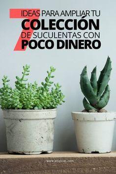 Ideas para conseguir suculentas gratis o gastando poco dinero. Cacti And Succulents, Planting Succulents, Garden Planters, Planter Pots, Inside Plants, Succulent Care, Cactus Y Suculentas, Botany, Ideas Para