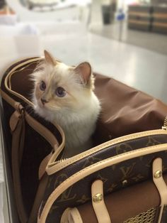 Choupette Lagerfeld - Though clearly a Chanel kind of cat, Choupette - Karl Lagerfeld chic beloved lady cat - is also a fan of Louis Vuitton's monogrammed cat carry cases. Fendi, Grumpy Cat, Cool Cats, Karl Lagerfeld Choupette, Karl Otto, Best Cat Gifs, Gato Gif, National Cat Day, Kitten Gif
