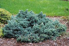Juniperus squamata Blue Star.