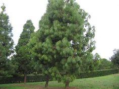 pino delle canarie - parco di Monte Claro