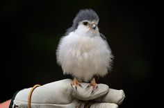 African Pygmy Falcon (one of the smallest raptors on the planet)