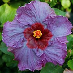 """Exotic hibiscus """"Purple Moon"""" blooms with a large 7-9"""" single flower in shades of purple, blue and lilac in cool weather, and pink and lilac in the heat..."""