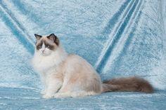 2 Januari 2016. 7 Maand oud. Ragdoll Lady Sif, Cats, Animals, Gatos, Animales, Kitty Cats, Animaux, Animal Memes, Cat Breeds