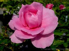 """ Earth Song "" - Buck Roses Collection - Grandiflora, hybrid tea rose - Deep pink - Strong fragrance - Dr Griffith J. Buck (US), 1975"