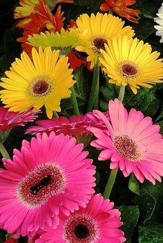I love the brilliant colours of Gerberas. Bulb Flowers, Flowers Nature, Love Flowers, My Flower, Flower Power, Beautiful Flowers, Fuerza Natural, Amaryllis Bulbs, Daisy Art