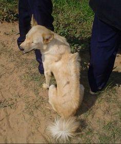 Znalezione obrazy dla zapytania Cambodian Ridgeback Dog