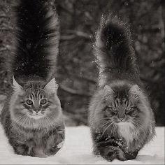 Norwegian forest cats #NorwegianForestCat