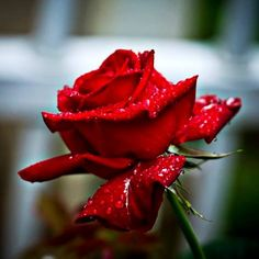#RedRoses all time favorite of #Flower Industry and the most preferred color during #Valentine- is for #Love, #Beauty, Respect, Courage & Passion.  #ORDER your favorite Red #Rose at www.soexflora.com.