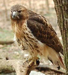 The Red-Tailed Hawk occupies a wide range of habitats and altitudes, including deserts, grasslands, coniferous and deciduous forests, agricultural fields and urban areas. It lives throughout the North American continent, except in areas of unbroken forest or the high arctic.