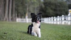 Image result for Border Collies