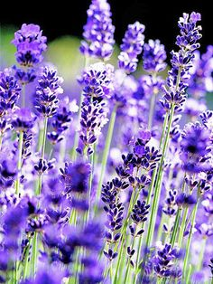 'Hidcote' English Lavender     One of the most popular lavenders around, 'Hidcote' supplies silvery foliage and dark purple-blue flowers from late spring to early summer. It's a good choice for small gardens. Want another reason to love it? 'Hidcote' is one of the strongest-scented varieties