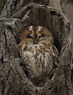 Owl in a tree hole.............can you see me now?