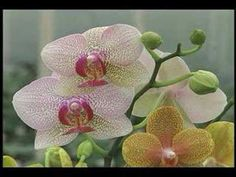 Phalenopsis Orchids (+playlist)