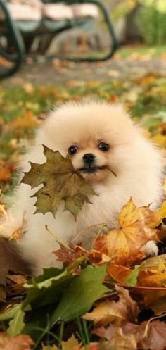 I have a Pomeranian ball in fall...