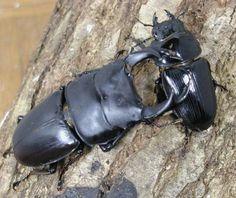 Ookuwagata - Dorcus hopei binodulosus (couple)
