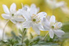 Wood Anemone | by Mandy Disher