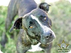 RIP, Cassidy 11/10/15 - Pit Bull Terrier Dog for adoption in Tavares, Florida - CASSIDY