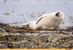 тюлень,для важных переговоров,ХАХАХА,смех,милота,жирнота