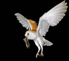 Owl Tyto alba As Pest Control Rat Effective and Environmentally Friendly. http://goo.gl/Wm8oc6