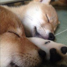 Shibas sleeping shhhhh  from http://rippycrazycate.tumblr.com/post/72439517863