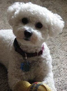 Bichon Frise Puppies for sale - Rolling Meadows Puppies has ...