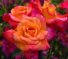 Rosa 'Joseph's Coat' Climbing Rose