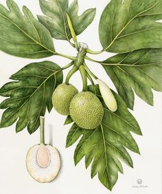 Ulu/Breadfruit. Artocarpus altilis. These illustrations by Wendy Hollender appear on signage at the National Tropical Botanical Garden on Kauai to illustrate the canoe plants in their gardens.