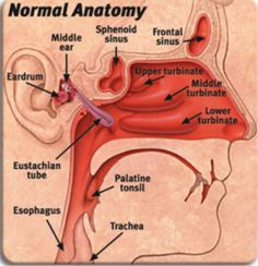How the tube connects from your middle ear to your nose and throat