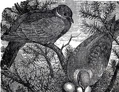 This is a wonderful Vintage Birds Nesting Image!! Shown above is a beautiful Illustration of two Birds nesting with their Eggs in some lovely Pine Branches.