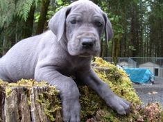 #Great #dane puppy