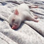 "9,599 Likes, 407 Comments - STELLA MAX JOHNSON (@stellamaxpig) on Instagram: ""My dream is that one day every single piggy in the world can be treated like this and have a life…"""