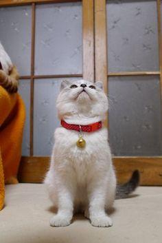 Kuro's snazzy collar with bell :) He's just too adorable (kagonekoshiro.blog86.fc2.com)