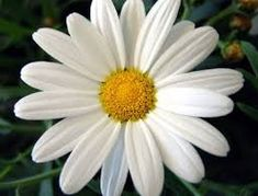 White big Daisies camomile 4 cutting plants 1 rooted by KnitSew4U