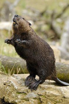 Wildlife comeback: Eurasian beaver (Castor fiber)
