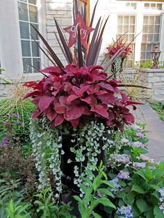 Extra large container with cordyline ~, redhead coleus ~ silver falls dichondra and allium schubertii. There are many beautiful flowers in her yard! http://gatsbysgardens.blogspot.com/