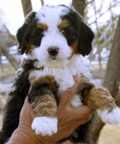 Bernedoodle puppy at 6 weeks old Cute Puppies, Cute Dogs, Dogs And Puppies, Doggies, Animals Beautiful, Cute Animals, Animals Dog, Bernadoodle Puppy, Bernese Mountain