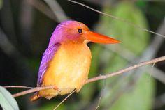 Bird Watching in Japan & Asia: Birdwatching in Southern Thailand ...