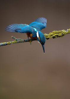 kingfisher (by Mark Hughes) ~ ready,,,set,,,,,,,di,,,,,,v,,e,,,,