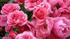 #Rosen aus dem #Garten.