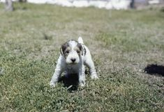 Wire-haired terrier puppy, '40s | 40 Precious Dog Photos From The '40s
