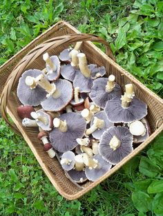 Smugtown -   Stropharia rugoso-annulata (Wine Cap or Garden Giant)    A robust and delicious edible, grows well outdoors along side your vegetable and herb gardens. See huge flushes growing underneath your greens and enjoy these fruits outdoors from spring through fall in the Northeast. The cap offers various shades of burgundy and the gills turn purple in age. Quite a beautiful mushroom to grow and to harvest with the bounty of the garden.