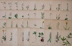 40 x Antique 19th c Hand Coloured Sowerby Botanical Engravings - A40