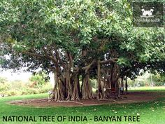 15 best india images on pinterest indian national symbols and banyan tree the national tree of india fandeluxe Choice Image