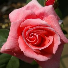 Climbing Salmon Scentsation :- Large-flowered coral-pink climber with a light fragrance.