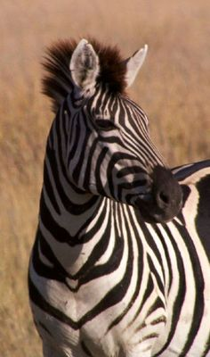Makgadikgadi Zebras. Still taken from National Geographic's Great Migrations DVD.