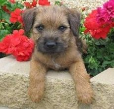 Border Terrier puppy. @mark for your tc board b